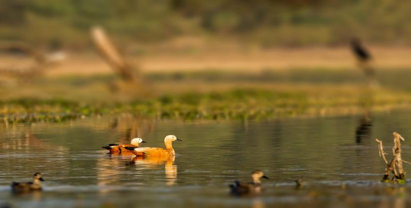 Weekend Birding in Bharatpur
